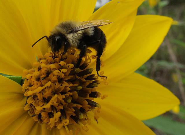 bumblebee_7133