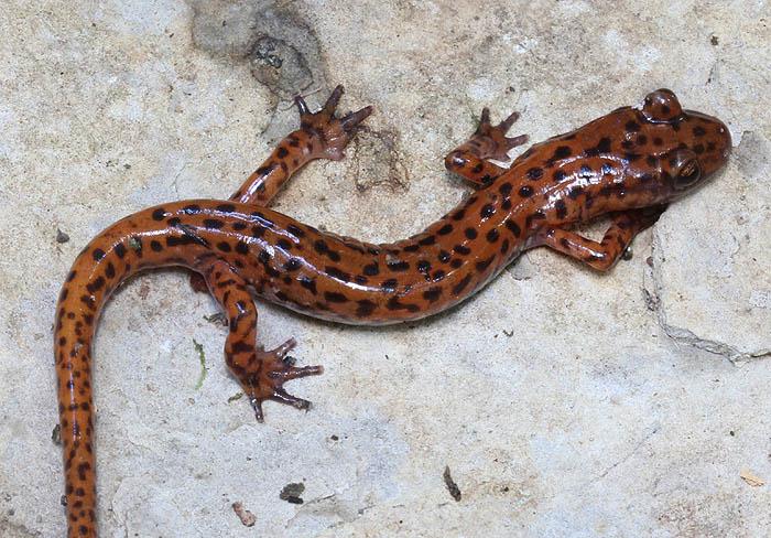 cave salamander_1416