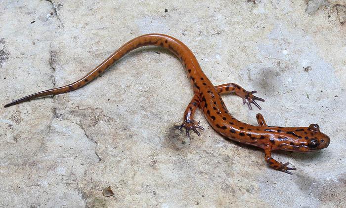 cave salamander_1417