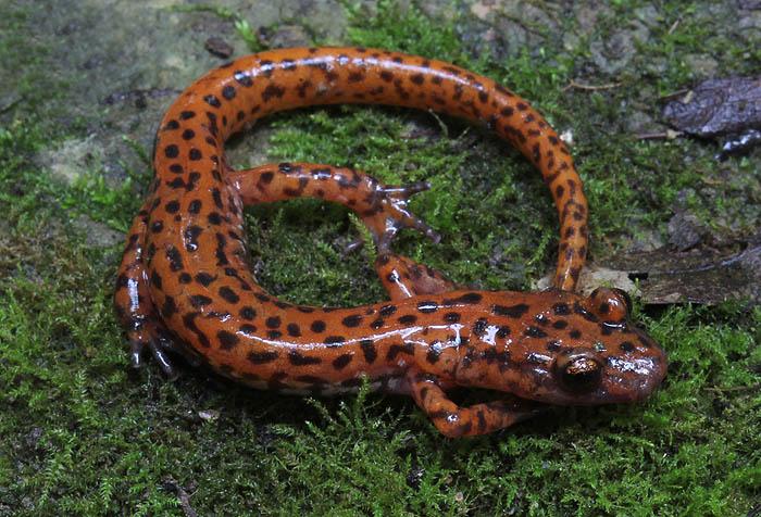 cave salamander_1423