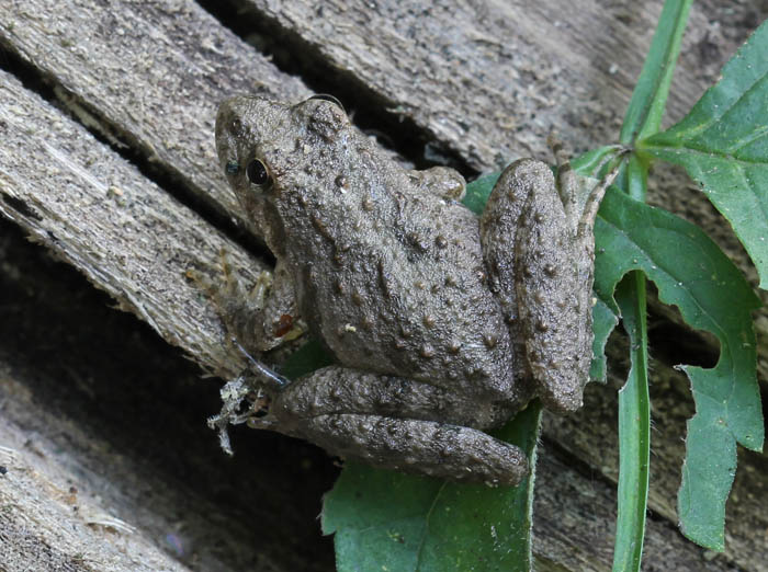 cricketfrog_1335_zpsfa5bf24b