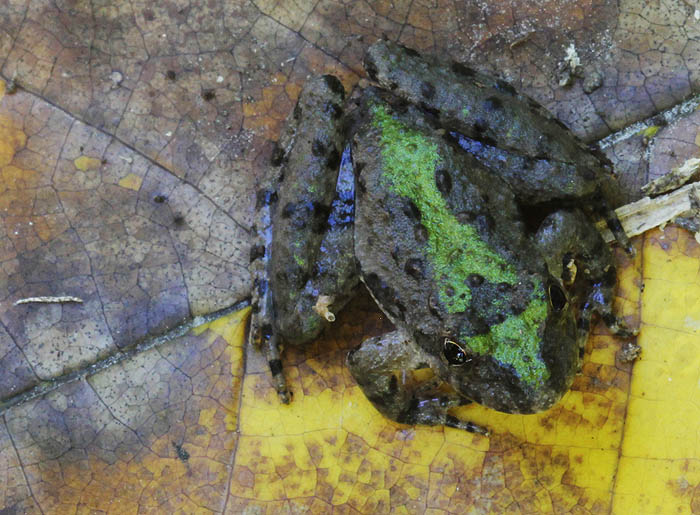 cricketfrog_1878_zps13291527