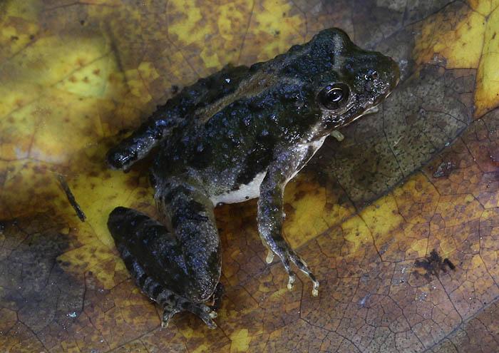 cricketfrog_1880_zpsb25e71f3