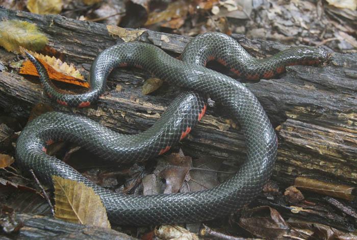 mud snake_1739