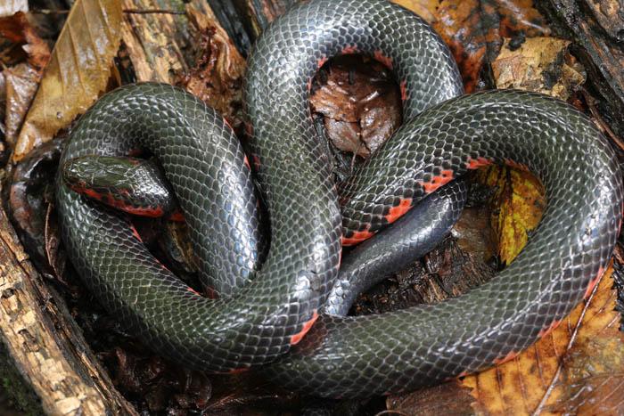 mud snake_1753