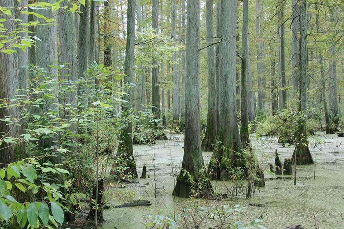 swamp_1808