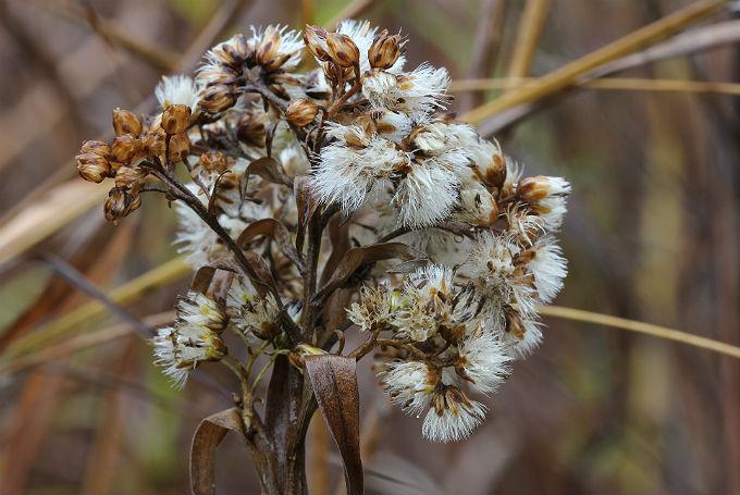 05 daisy fleabane 056