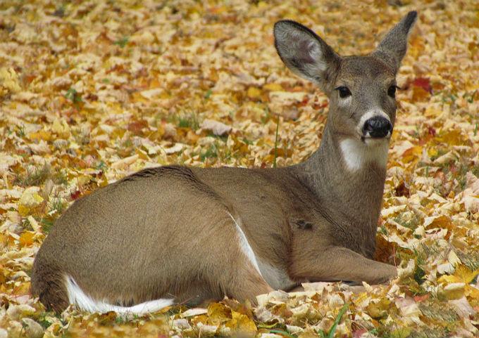 14 deer_9071