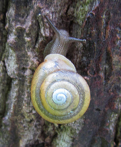 Eastern Forest Snail_9393