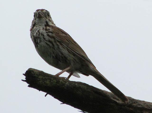 song sparrow_1731