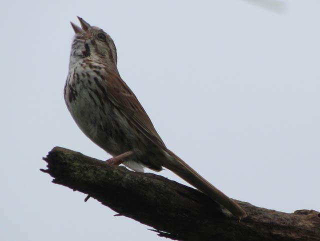 song sparrow_1733