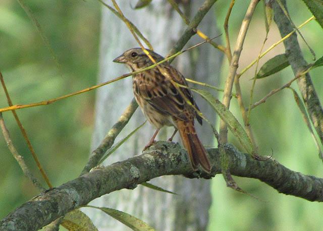 song sparrow_6493