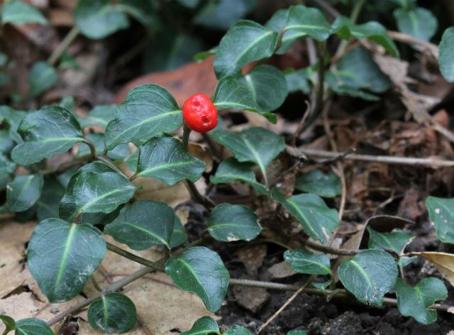 partridgeberry_10_15 004