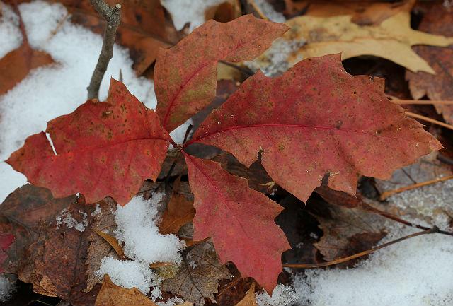 red oak 003