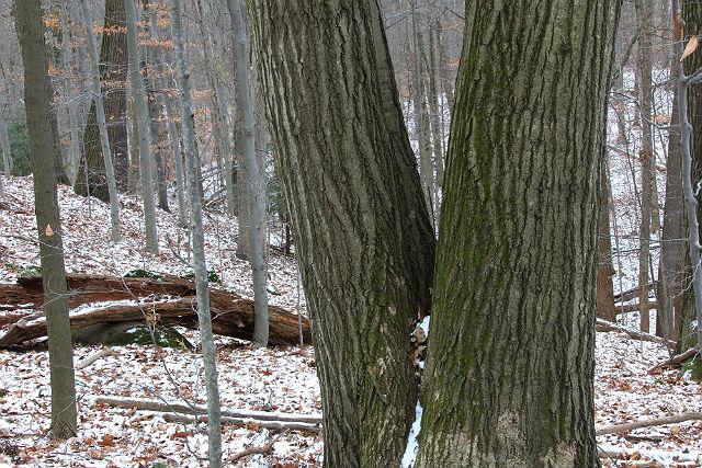 red oak 017