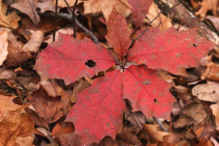 red oak 037