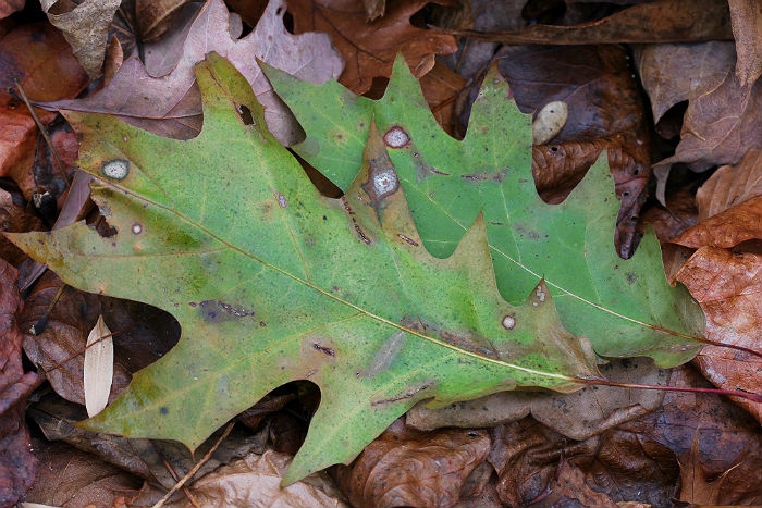red oak 040