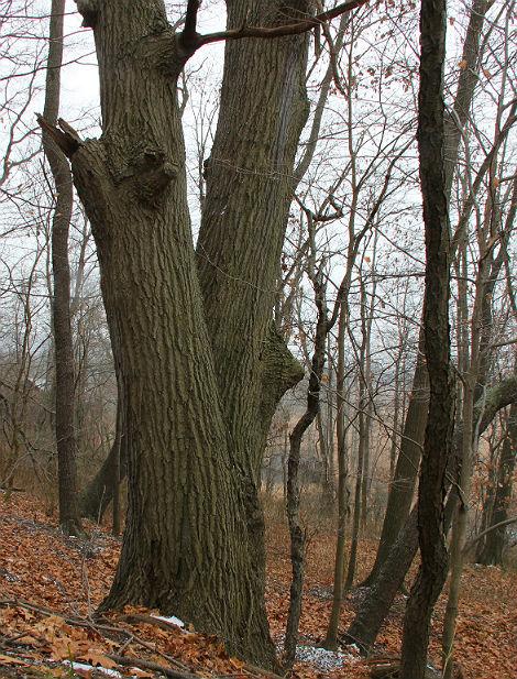 red oak 045