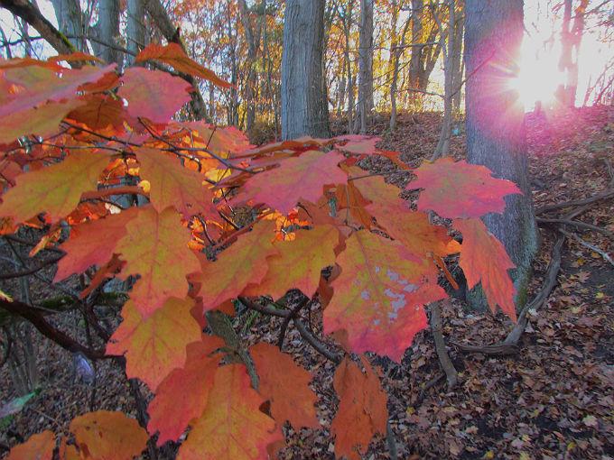 red oak 900