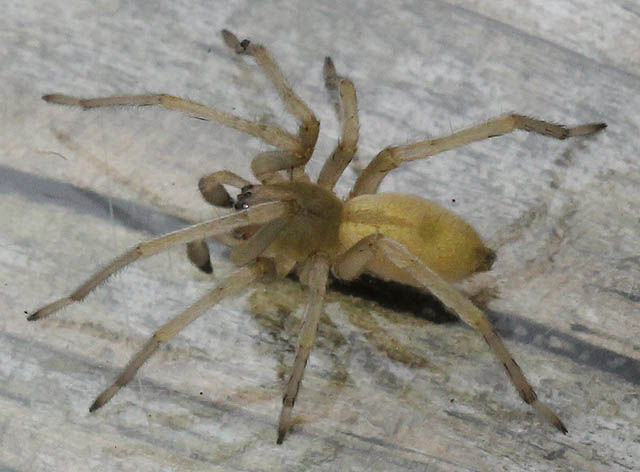yellow spider_11_11 017