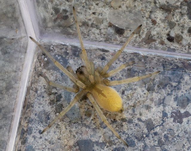 yellow spider_11_13 014