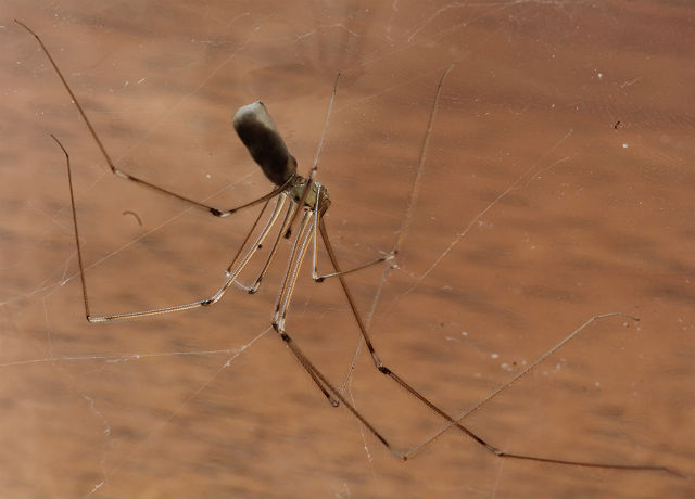 cellar spider 014d