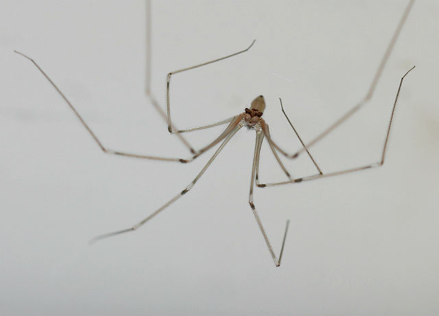 cellar spider doesn t move around very much it usually stays in