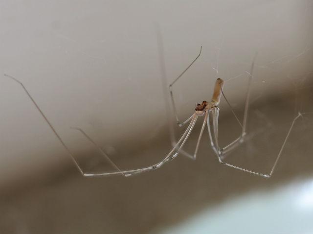 cellar spider 024