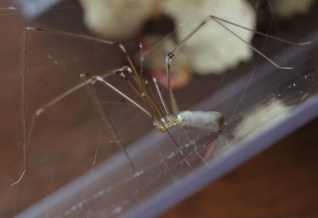 cellar spider 028