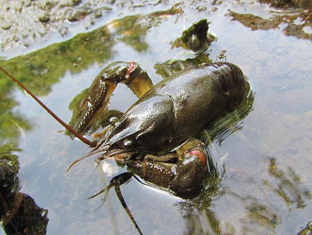 crayfish_9043