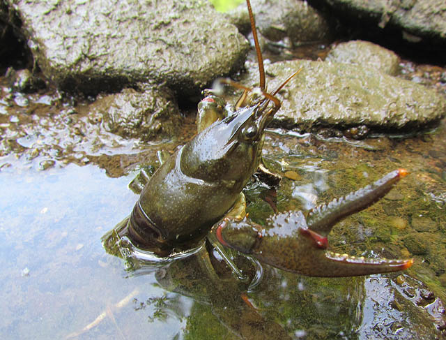 crayfish_9045