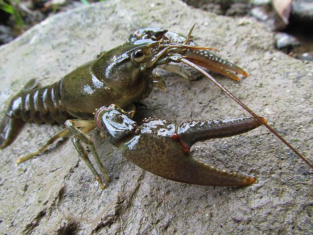 crayfish_9091