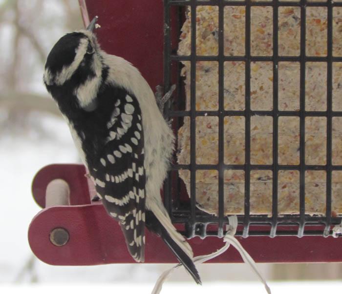 downy woodpecker_8838