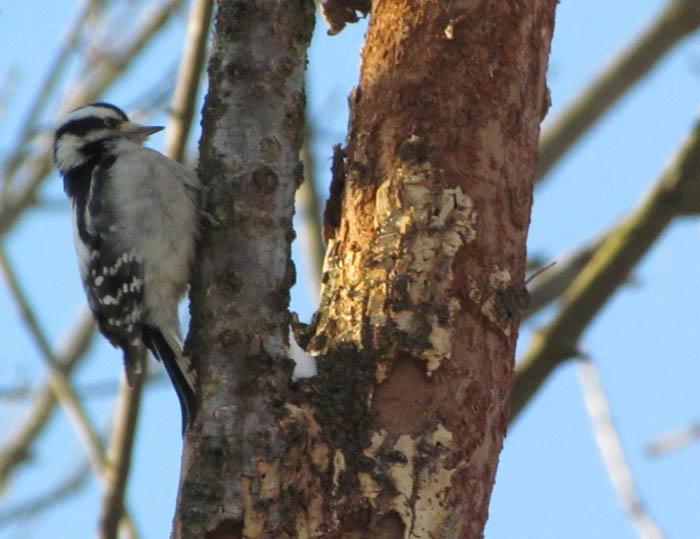 downy woodpecker_8930