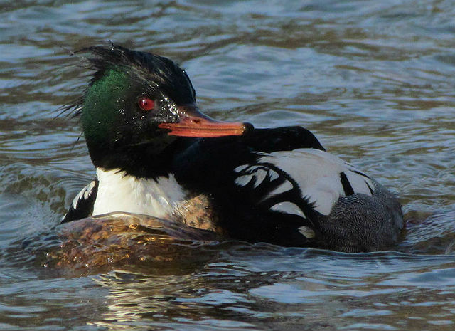 Red-breasted Merganser_1884