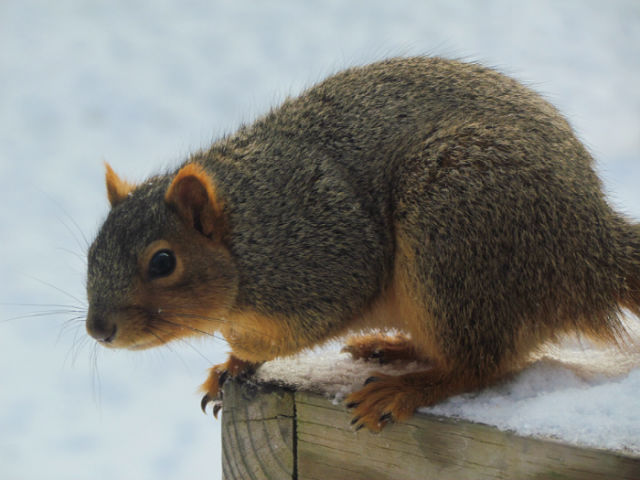 fox squirrel_1441
