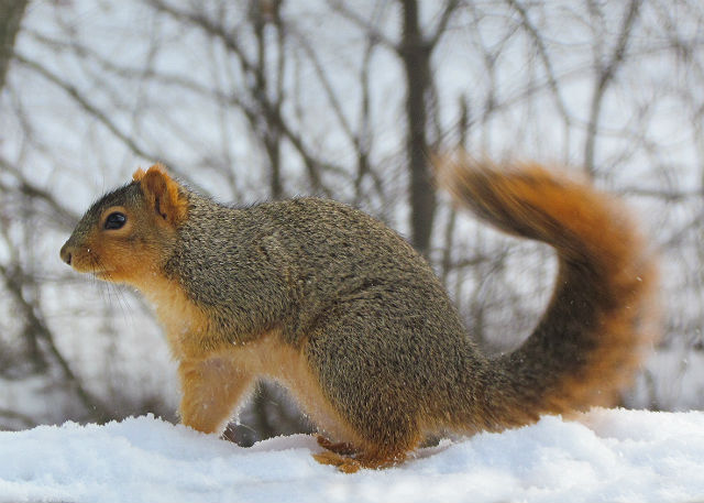 fox squirrel_1446