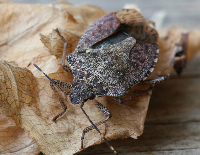 Brown Marmorated Stink Bug 002