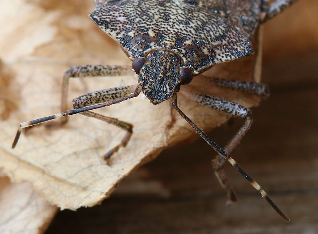 Brown Marmorated Stink Bug 008