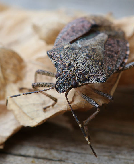 Brown Marmorated Stink Bug 009