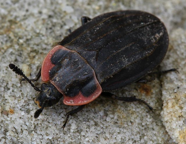 Margined Carrion Beetle 027