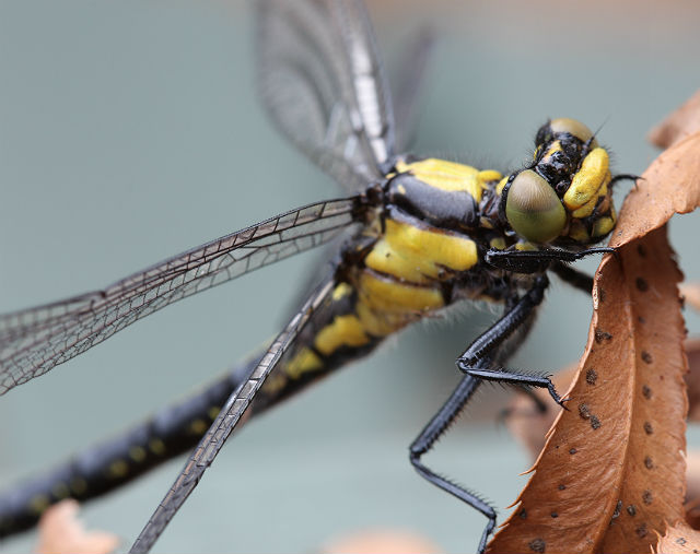 Pacific Clubtail 036