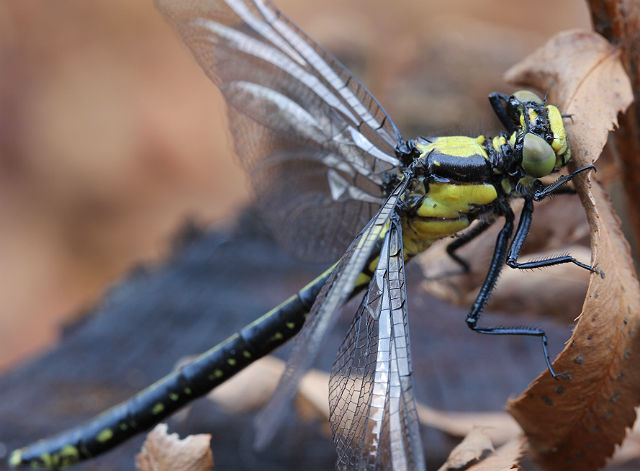 Pacific Clubtail 047