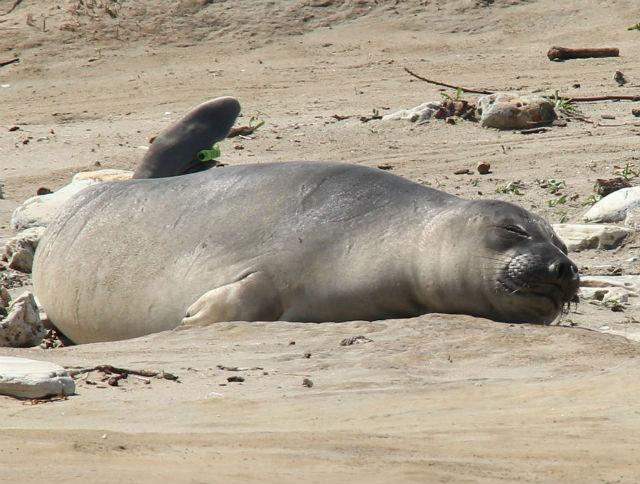 elephant seal 140