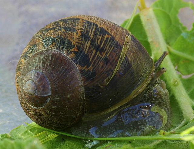 snail 130