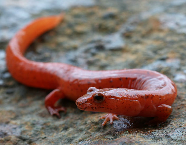 spring salamander 035