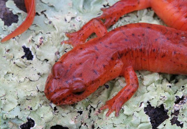 spring salamander 170
