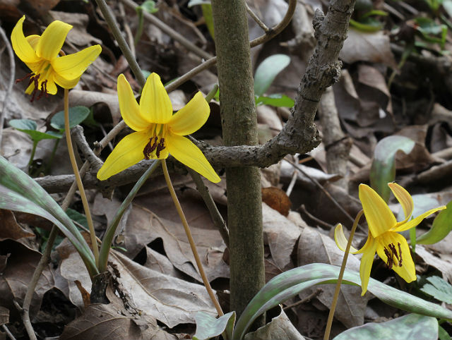 trout lily 036