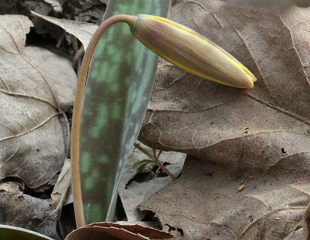 trout lily 053