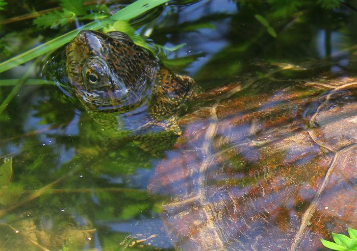 western pond turtle 051